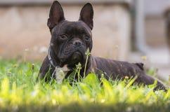 Le chien de bouledogue français se situe dans l'herbe à l'arrière-cour Images libres de droits