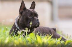 Le chien de bouledogue français se situe dans l'herbe à l'arrière-cour Image libre de droits
