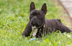Le chien de bouledogue français se situe dans l'herbe à l'arrière-cour Image stock