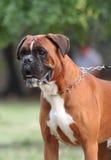 Le chien de boxeur Photo libre de droits
