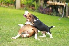Le chien de briquet d'adulte et de chiot jouent dans la pelouse photos libres de droits