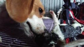 Le chien de briquet donne naissance banque de vidéos