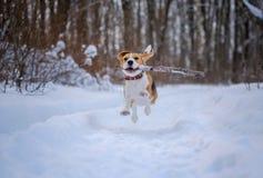Le chien de briquet fonctionne et joue dans la forêt d'hiver images libres de droits