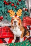 Le chien de briquet posant comme renne près d'un arbre de Cristmas Image libre de droits