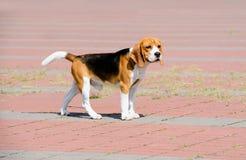 Le chien de briquet regarde de côté photographie stock libre de droits