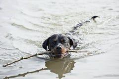 Le chien de Brown cherche le bâton du lac Photo stock