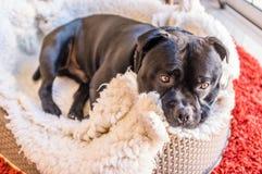 Le chien de bull-terrier du Staffordshire s'est courbé dans son lit Image libre de droits