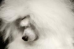 Le chien de caniche blanc de plan rapproché a par culpabilité abaissé la tête d'isolement sur le noir photo stock