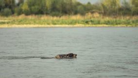 Le chien de chasse nage à travers la rivière Images libres de droits