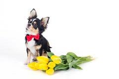 Le chien de chiwawa porte le noeud papillon avec le bouquet des fleurs jaunes Photographie stock libre de droits