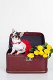 Le chien de chiwawa se repose dans la boîte avec les tulipes jaunes Image stock