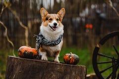 Le chien de corgi Photos stock