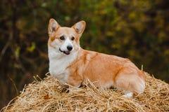 Le chien de corgi sur la meule de foin Image stock