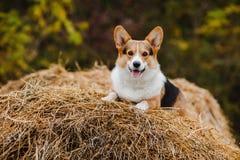 Le chien de corgi sur la meule de foin Photo stock