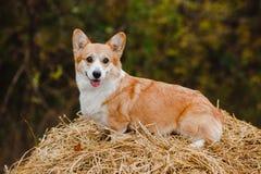 Le chien de corgi sur la meule de foin Images stock