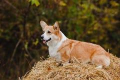 Le chien de corgi sur la meule de foin Photos libres de droits
