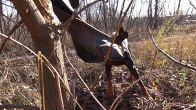 Le chien de dobermann joue avec la chambre de roue qui accrochant sur l'arbre clips vidéos