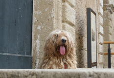Le chien de Dreadlocks Photo stock