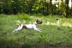 Le chien de Fox Terrier attrape une boule en marche Photographie stock