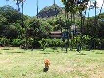 Le chien de golden retriever marche par le parc avec Diamond Head Crater Photographie stock libre de droits