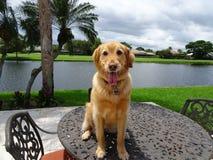 le chien de golden retriever se repose dessus d'une table dans la cour Photographie stock libre de droits
