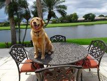 le chien de golden retriever se repose dessus d'une table dans la cour Photos stock