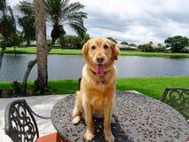 le chien de golden retriever se repose dessus d'une table dans la cour Image libre de droits