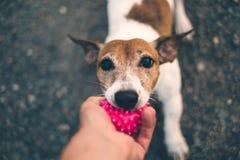 Le chien de Jack Russell refuse de donner la boule rose au propriétaire, fond de gravier, le chien jouant avec le propriétaire, v image stock