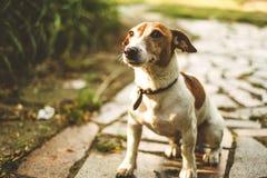 Le chien de Jack Russell se repose sur une voie de tuile et les attentes des équipes, recherche image libre de droits