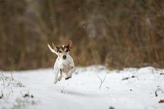 Le chien de Jack Russell Terrier emballe rapidement au-dessus d'un chemin neigeux d'hiver image libre de droits