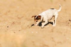 Le chien de Jack Russell Terrier suit une traînée sur un champ image libre de droits