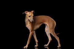 Le chien de lévrier italien se tenant sur le miroir, posant le profil a isolé le noir Image stock