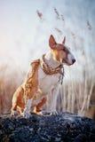 Le chien de la race un bull-terrier dans une écharpe à carreaux Images stock