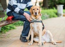 Le chien de Labrador de guide détend avec le propriétaire image stock
