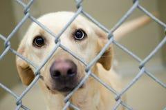 Le chien de Labrador s'est mélangé à un oeil bleu dans le chenil photo libre de droits