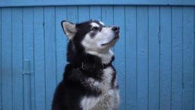 Le chien de Malamute d'Alaska se repose sur un fond en bois bleu de mur de maison en hiver Image libre de droits