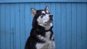 Le chien de Malamute d'Alaska se repose sur un fond en bois bleu de mur de maison en hiver Photos stock