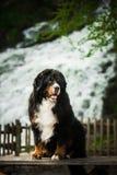 Le chien de montagne de Bernese se reposent sur la table rivière de cascade sur le fond photographie stock libre de droits
