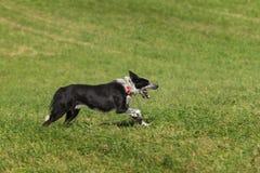 Le chien de moutons court la bouche droite ouverte Photo libre de droits