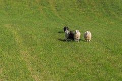 Le chien de moutons fonctionne derrière le groupe du Bélier d'Ovis de moutons Images stock