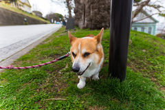 Le chien de Pembroke de corgi de Gallois détendent sur le champ d'herbe Image libre de droits