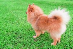 Le chien de Pomeranian se tient sur l'herbe verte molle photo libre de droits