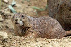 Le chien de prairie à queue noire Photo libre de droits