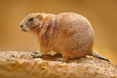 Le chien de prairie à queue noire, ludovicianus de Cynomys, animal mignon de rongeur de Sciuridae de famille a trouvé dans Grande images libres de droits