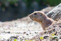 Le chien de prairie curieux colle la tête hors de la caverne image libre de droits