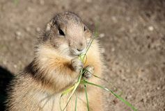 Le chien de prairie mange l'herbe photographie stock libre de droits