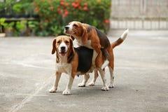 Le chien de race de briquet sont maintenant réceptif dans l'accouplement Photographie stock libre de droits