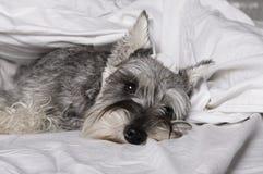 Le chien de schnauzer miniature est se situant et dormant dans le lit photo libre de droits