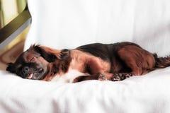 Le chien de sommeil photos stock