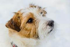 Le chien de sourire le plus gai dans le monde Jack Russell Terrier, émotions et joie Images stock